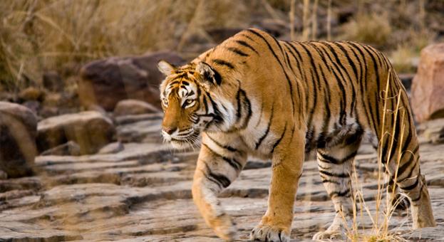 Machli-Tigress-Ranthambore